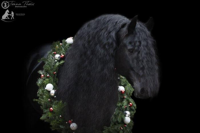 Imposanter Friesenhengst vor schwarzem Hintergrund mit Weihnachtskranz um den Hals